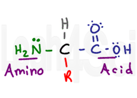 amino acid structure amine carboxyl hydrogen r group