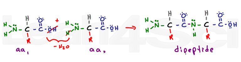 polypeptide bond dehydration synthesis reaction